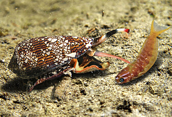 Den dødelige giften fra en snegle blir brukt til smertestillende medisin