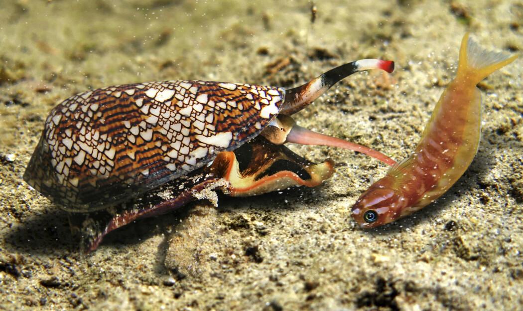 Her ser vi en snegle i gang med å fange fisk. Den stikker byttet sitt med snabelen, som er full av gift. Denne sneglen er en slektning av Conus Geographus, som er omtalt i artikkelen. Begge er like giftige og jakter på samme måte.