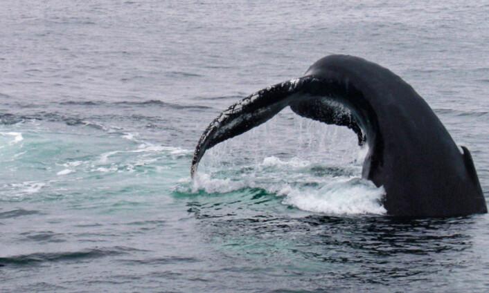 Knølhval som slår med halefinnen før et dykk mot fiskestim. (Foto: Jennifer Allen/Ocean Alliance)