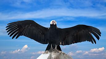 Kondoren svevde i 172 kilometer og fem timer uten å slå med vingene