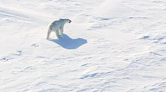 Ny studie: Isbjørnen kan være utryddet innen 2100