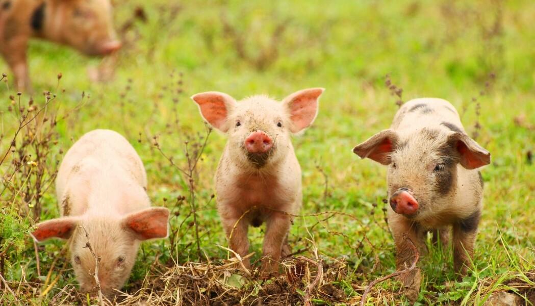 Du har kanskje hørt noen si at en gris er omtrent som en hund i adferden? Det er ikke så altfor langt fra sannheten, skal vi tro forskere. Og faktisk kan mye tyde på at de er litt smartere.