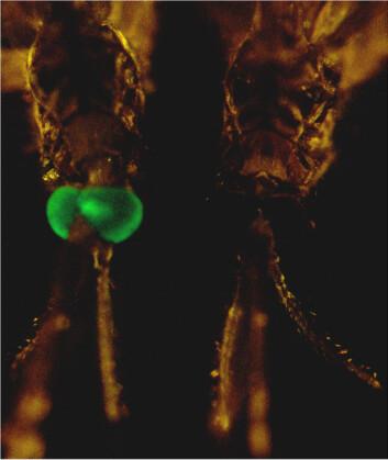 """""""Hvem tar siste stikk? Forskerne vet ikke sikkert ennå. Myggen til venstre er i hvert fall genmodifisert, den til høyre er det ikke. Foto: PNAS."""""""