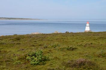 Kystlynghei på Asmaløy i Ytre Hvaler nasjonalpark. (Foto: Morten Günther)