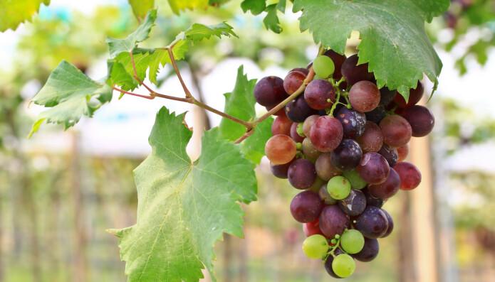 Druer har blitt spist av mennesker i tusenvis av år. Men de kan ha sett annerledes ut før.