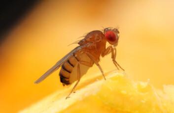 Bananfluen Drosophila melanogaster. (Foto: Hany K.M. Dweck, et al)