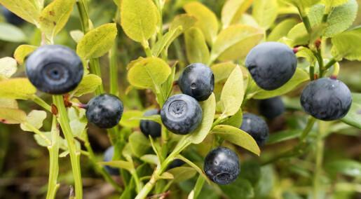 Det ligger an til en svært god blåbærsesong