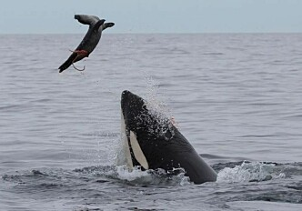 Seal-eating killer whales accumulate large amounts of harmful pollutants