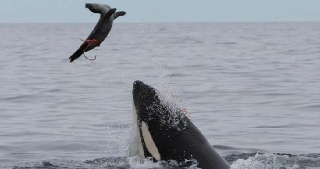 Noen spekkhoggere langs norskekysten spiser sel, og disse selspisende hvalene er alvorlig forurenset av miljøgifter.