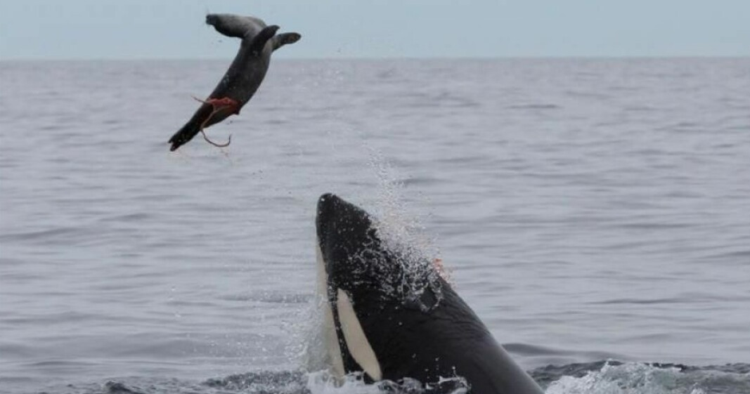 Some killer whales along the Norwegian coast eat seals, and these seal-eating whales are really polluted.