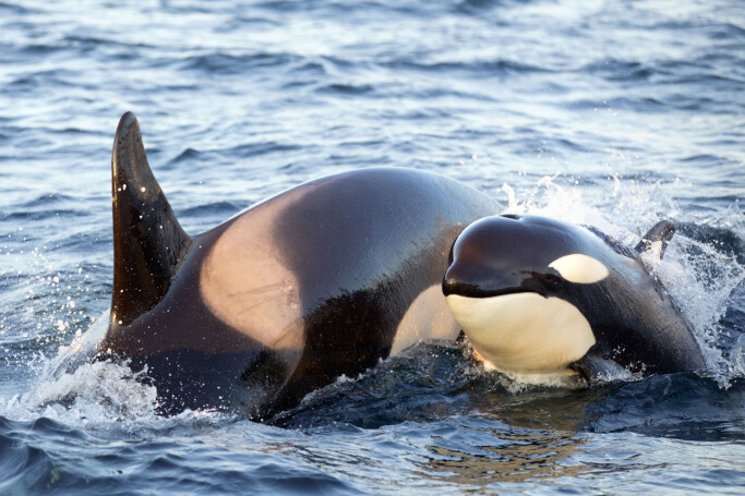 A trained eye can identify individual killer whales by photographing the unique pattern of nicks and scars on the dorsal fin, and then comparing photos with a catalogue.