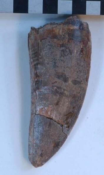 """""""Tannen til dinousauren Carcharodontosaurus iguidensis var et solid tyggeredskap. Firkantene er 1 cm. Foto: Steve Brusatte."""""""