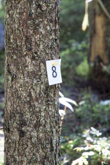 Nå telte han deg også! Et av de merkede trærne på Landsskogtakseringens prøveflater. (Foto: Lars Sandved Dalen/Skog og landskap)