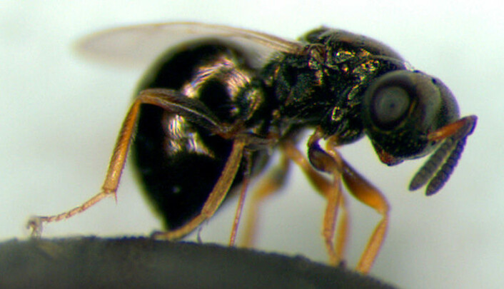 Nasonia vitripennis. (Foto: M.E.Clark/Wikimedia Commons)