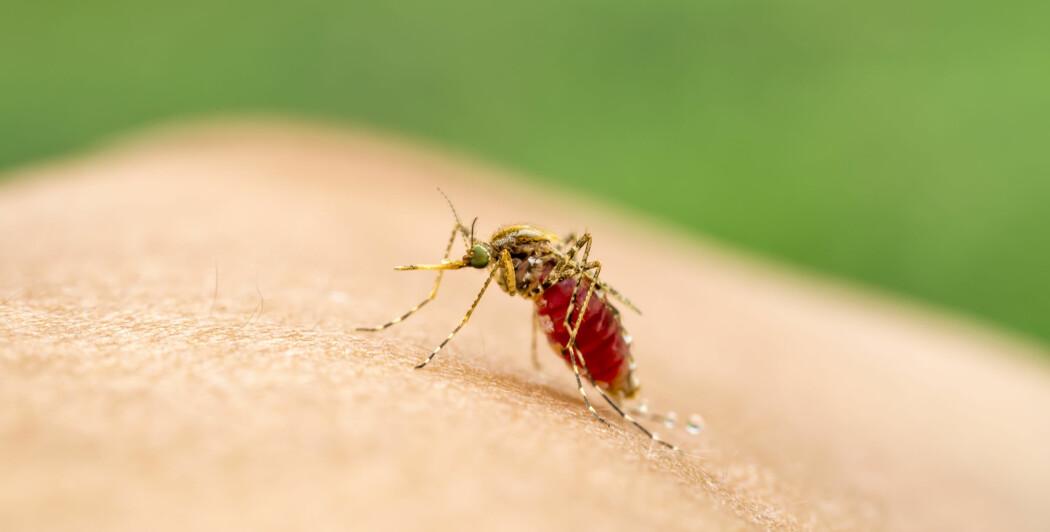 Har du spilt fotball eller løpt i skogen og blitt skikkelig varm, så liker myggen deg godt.