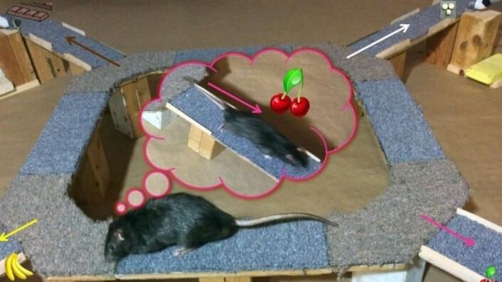 Under mat-eksperimentet virket det som at rottene ved flere tilfeller tenkte «hva om?»-tanker. Flere ganger snudde de seg og så tilbake på den gode maten de valgte bort. (Foto: Redishlab/University of Minnesota)