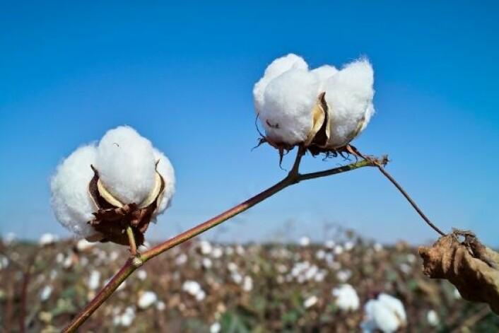 Dyrking av bomull i Kina. Genmodifisert bomull brukes nå av et flertall av kinesiske bomullsdyrkere. Endringer i bruk av insektsmidler gir ringvirkninger for andre nyttevekster. (Foto: iStockphoto)