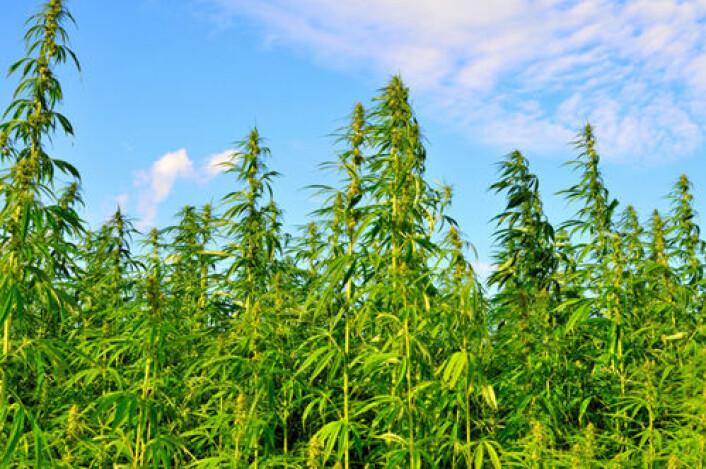 Plantasje av cannabisplanter. Cannabis ble også dyrket i jernalderen i Norge. (Foto: iStockphoto)