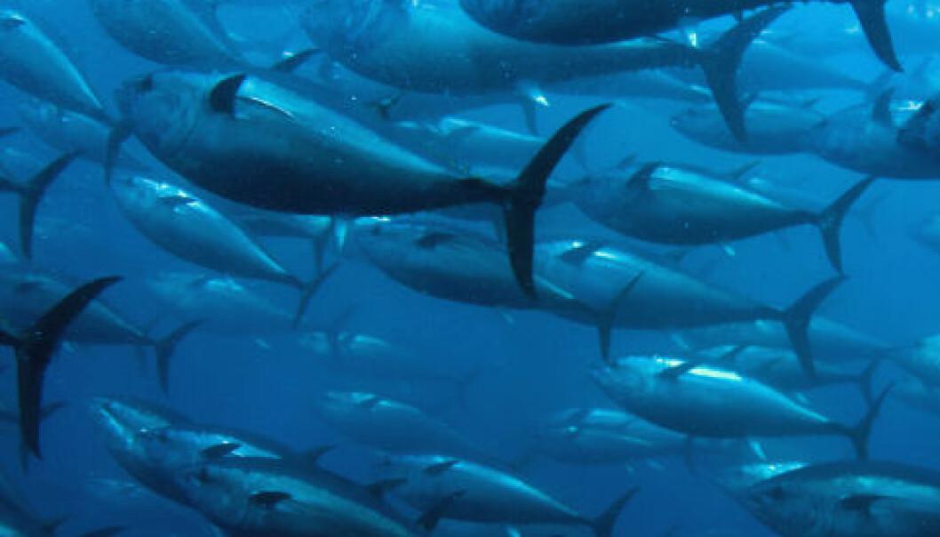 Tunfisk. iStockphoto
