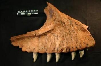 """""""Kjevebein med forholdsvis intakt tanngard fra den nære slektningen Carcharodontosaurus saharicus. Foto: Steve Brusatte."""""""
