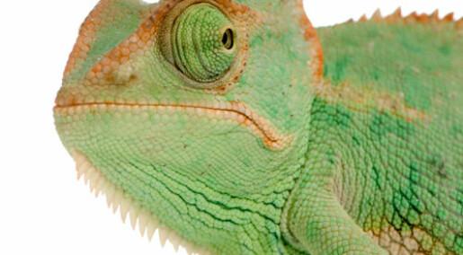 Kameleoner blir grønne av sinne