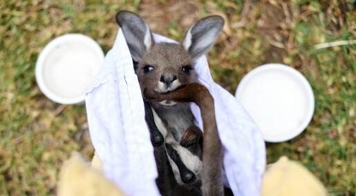 De australske skogbrannene kan ha drept eller fordrevet tre milliarder dyr