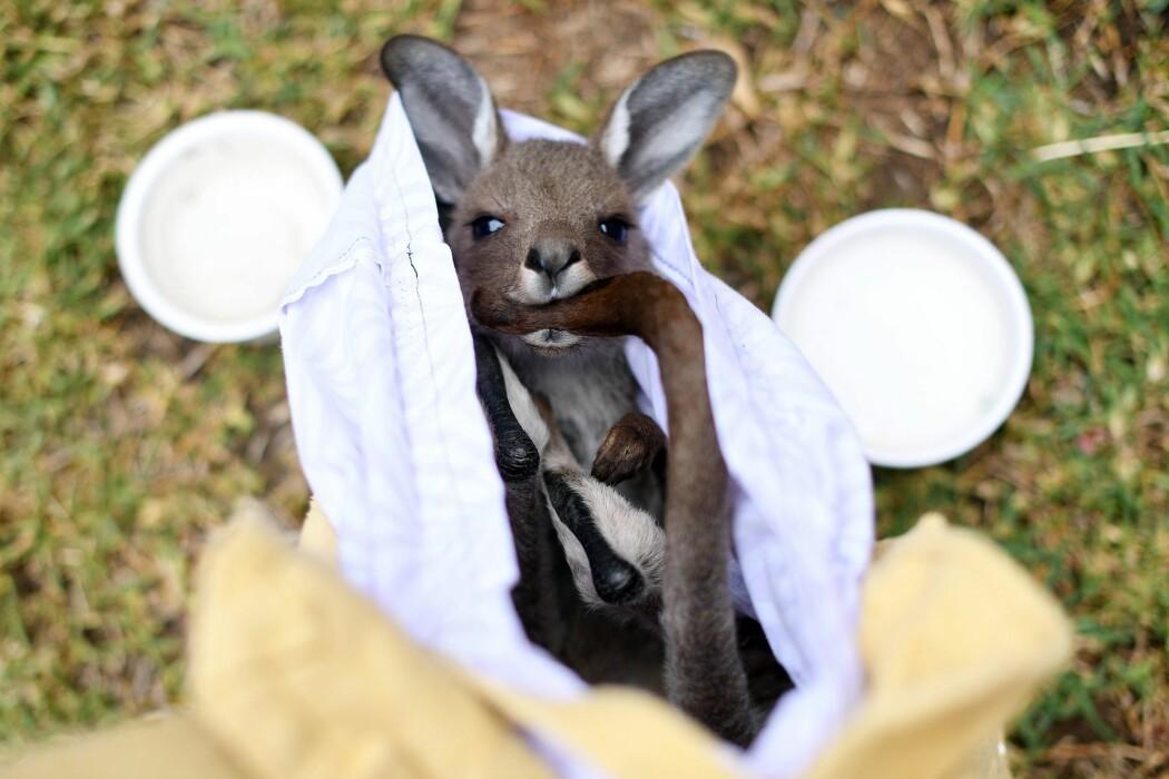 En kenguru blir tatt vare på av frivillige som jobber for å redde dyr som lider etter brannene i Australia i slutten av 2019 og begynnelsen av 2020. Mange dyr ble drept og andre ble svært svekket av tørke og brann.