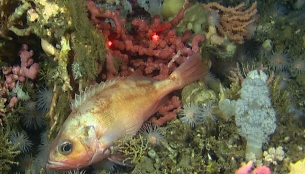 Mareano/ Havforskningsinstituttet