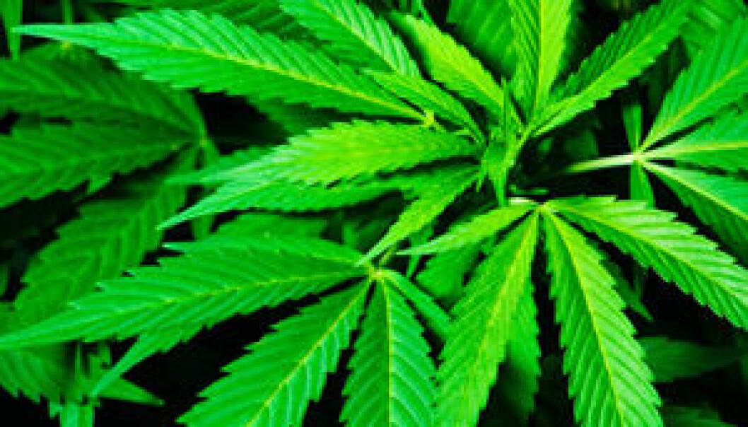 Cannabisplante. iStockphoto