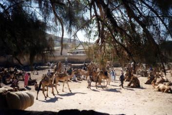 """""""Kamelmarkedet i Keren. Eritreisk økonomi er i dag hovedsaklig basert på landbruk. Foto: Christine Smith-Simonsen."""""""