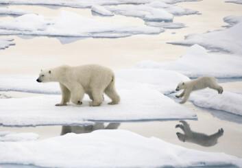Isbjørnbinne og unge på Svalbard sommeren 2011. (Foto: Janne Schreuder / Norsk Polarinstitutt)