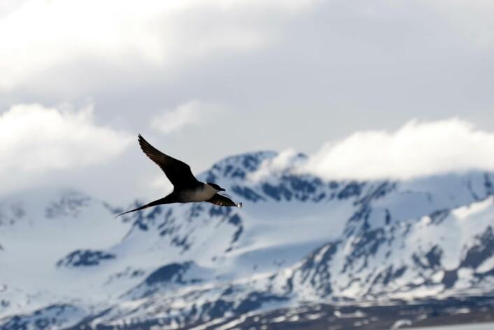 Ved hjelp av lysloggere klarte forskerne å følge fjelljoen fra hekkeplassene på Svalbard og Grønland til overvintringsområdene på den andre siden av jordkloden. (Foto: Børge Moe, Nina)