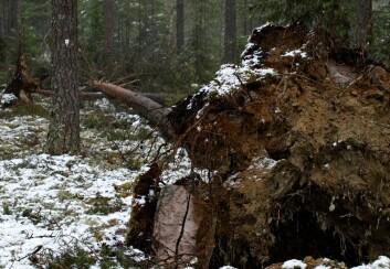 Ett av 16 furutrær som blåste ned i romjula 2011. Men feltet fortsetter å tjene skogforskningen. (Foto: Stig Støtvig, Skog og landskap)