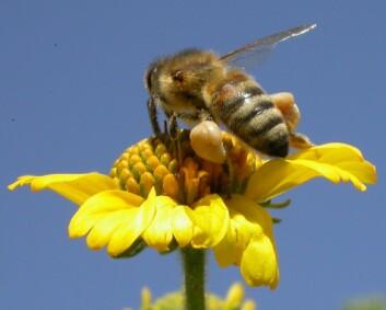 Honningbien samler pollen. Den pakker lasten som 'baller' klistret til beina. Mathenting krever mange spesialiseringer hos bien: Hjernen vokser, rompa blir mindre (bien slanker seg for a bli mer aerodynamisk), og bien lærer seg 'dansespråk' slik at den kan fortelle andre bier hvor maten er. (Foto: Osman Kaftanoglu)
