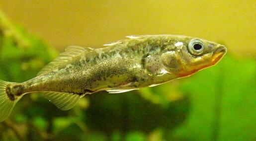 Dopet stingsild bryr seg ikke om måker og rovfisk