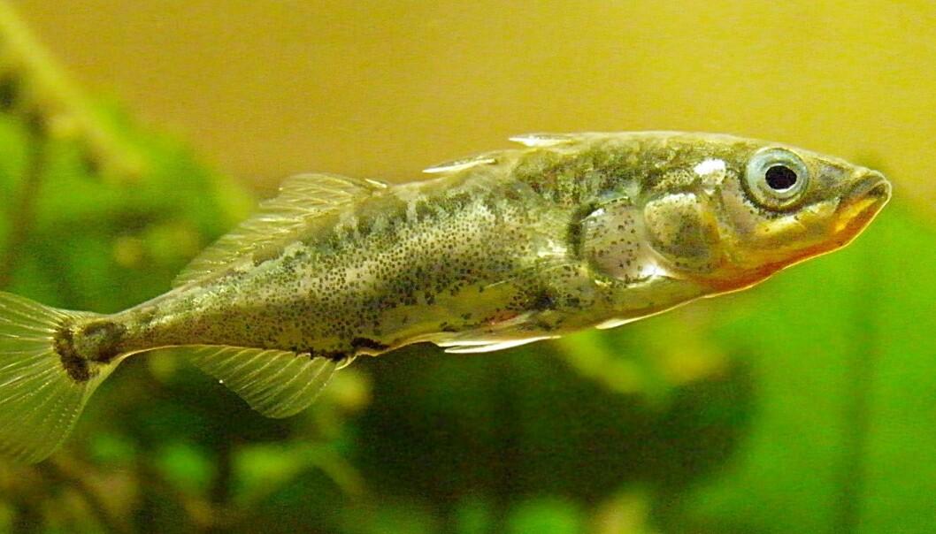 Forskere har «dopet ned» stingsild (Gasterosteus aculeatus) med «lykkepiller» og funnet ut at de da ikke reagerer på naturlige predatorer. Fiskens endring i adferd kan brukes til å påvise legemidler i vannmiljøer.