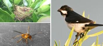 Vepsen drepte fuglungen. - Helt uvanlig at veps angriper levende dyr, sier forsker