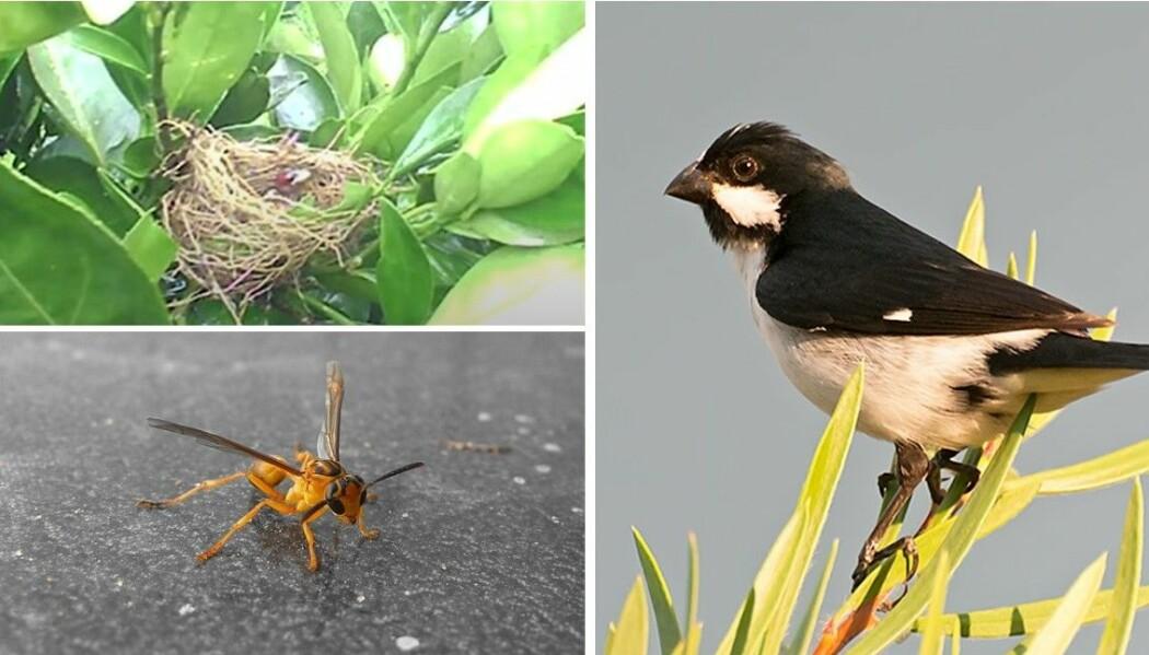 Til høyre: En voksen hvitkronefrøeter. Det var en unge av denne fuglearten som ble drept av vepsen. Nederst til venstre: Vepsen som gikk løs på fuglungen. Øverst til venstre: Et bilde fra videofilmen av angrepet. Du finner filmen nederst i artikkelen.