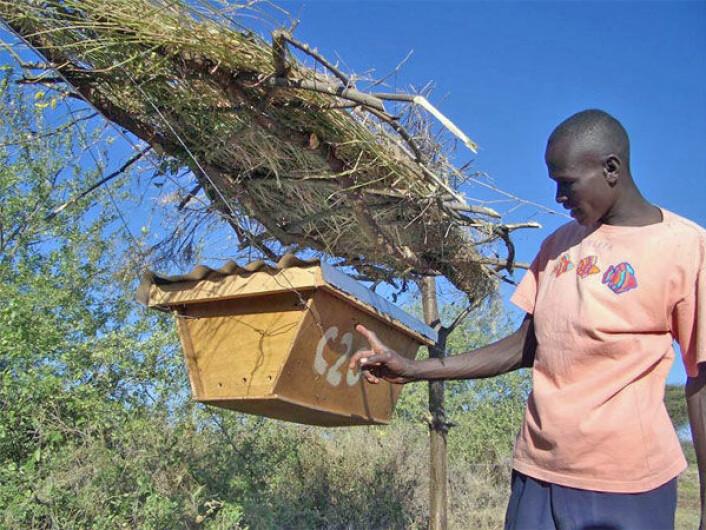 En av bøndene, kjent som Pastoren, i landsbyen Chumviyere, inspiserer en av de hengende bikubene som inngår i et av bi-gjerdene. (Foto: Save the Elephants)
