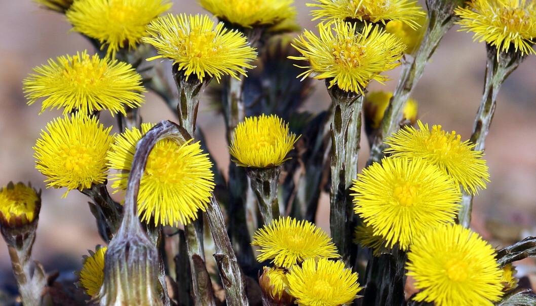 Hestehoven blir 5–20 cm høy, vokser på næringsrik jord og blomstrer i mars til mai. Andreas Trepte/Wikimedia Commons