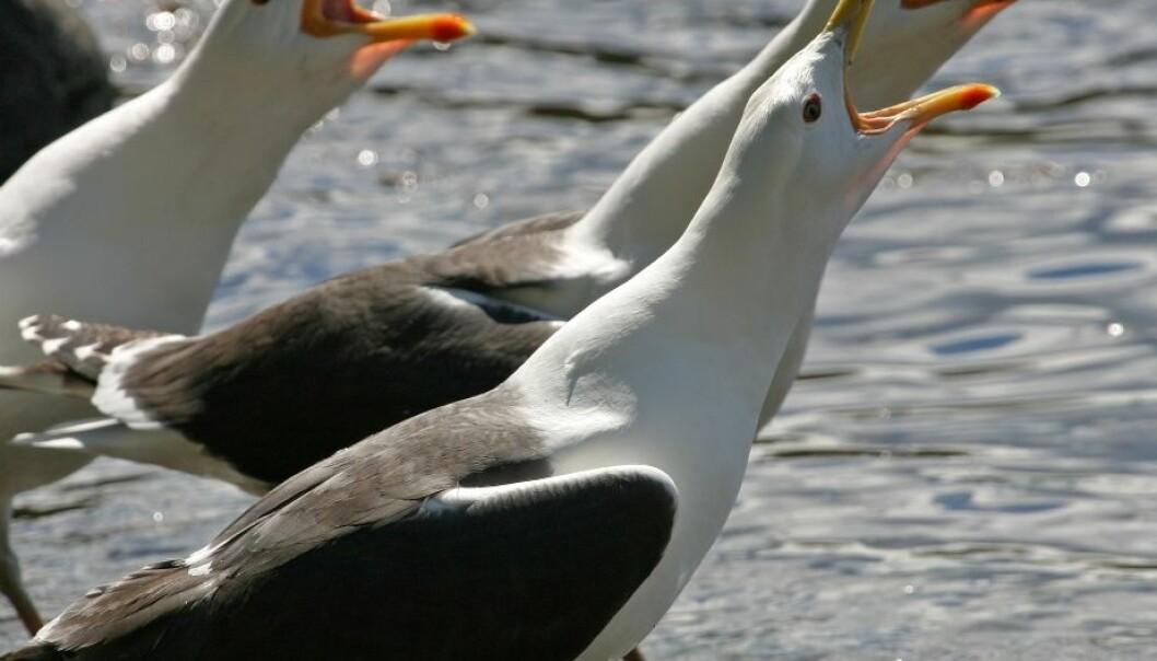 Svartbak (Larus fuscus) er en såkalt kleptoparasitt som stjeler byttet fra andre fuglearter, men den lever også av å ta fugleunger og åtsler. Hans Petter Kristoffersen / Skog og landskap