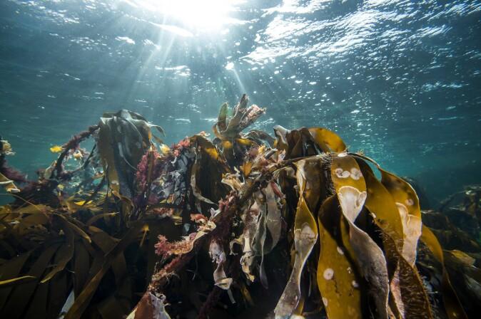En frodig tareskog er bokstavelig talt grobunn for mye liv i havet.