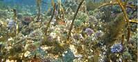 Overfiske på 1970-tallet var trolig årsak til undervanns-ørken i Midt- og Nord-Norge