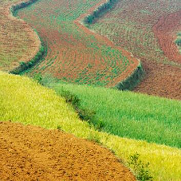 Kinesisk hveteåker. Kina har et voldsomt nitrogen-problem. (Foto: Shutterstock)