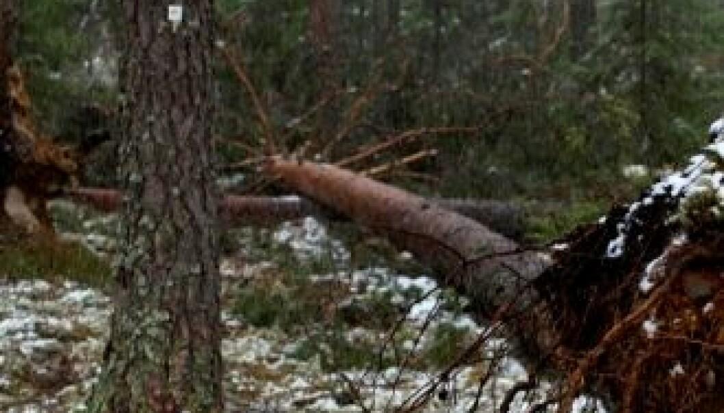 Ett av 16 furutrær som blåste ned i romjula 2011. Men feltet fortsetter å tjene skogforskningen. Stig Støtvig, Skog og landskap
