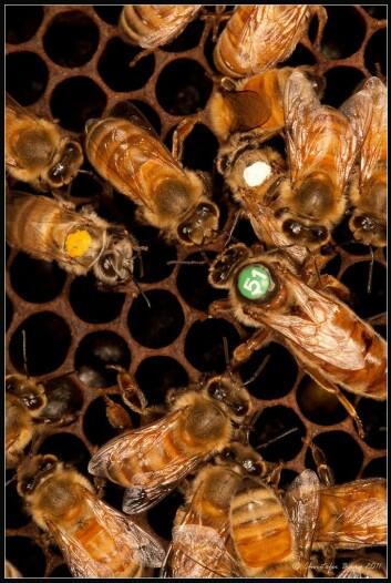 Biekolonien har en dronning (her med nummer 51) og mange tusen arbeidere som alle er jenter. Vanligvis begynner arbeiderbiene livet sitt som ammer inne i kuben, og bytter til matsankere ute i naturen etter ca tre uker. (Foto: Christofer Bang)