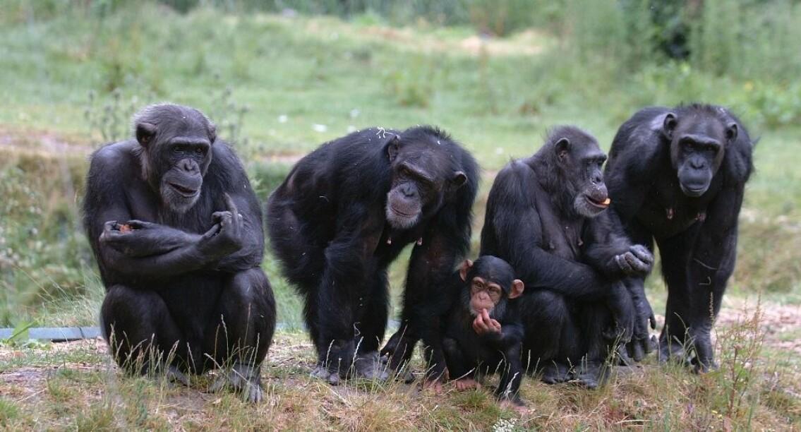 I og med at sjimpanser har seg med alle i flokken, har hannene utviklet nye måter å sikre at avkommet som lages faktisk er deres eget. (Illustrasjonsfoto: Colourbox)