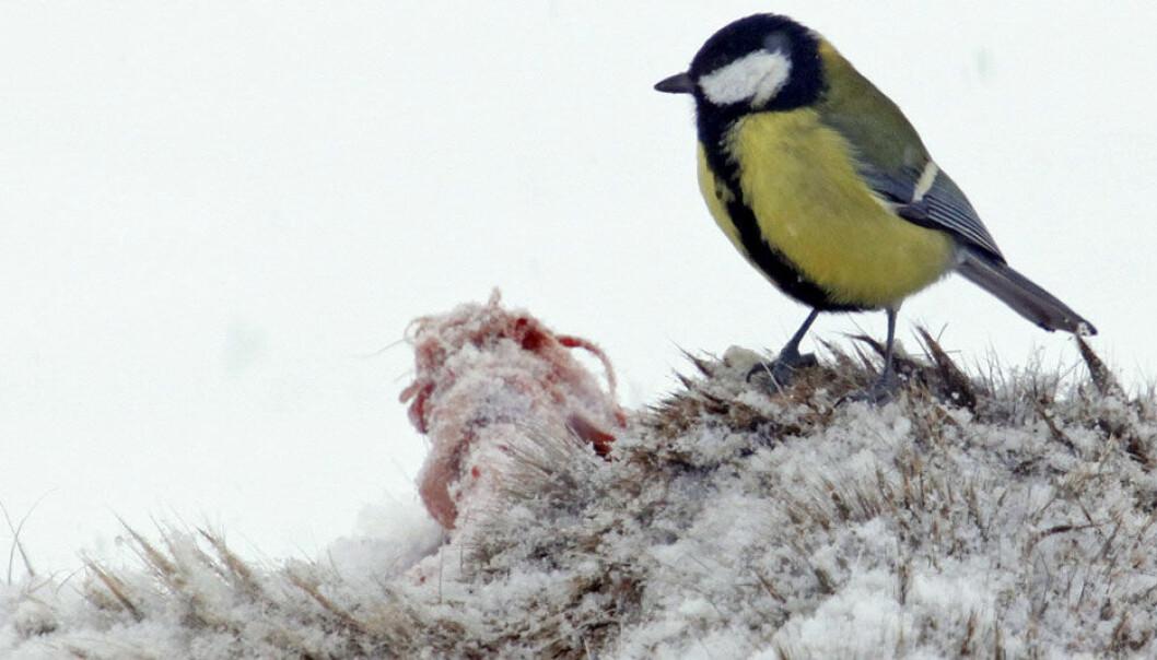 Kjøttmeis (Parus major) lever opp til navnet og fant mat på dette revekadavret utenfor Molde. Da ørnene forsvant dukket kjøttmeisen opp. Hans Petter Kristoffersen / Skog og landskap