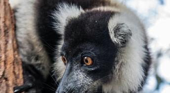 Lemurer med egen barnehage