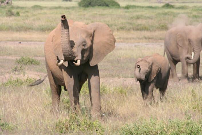 """""""Elefanter i Kenya får ferten av folk. I følge britiske forskere bruker dyrene både lukt- og synssans til å skille mellom mennesker. (Foto: Richard Byrne, University of St. Andrews)."""""""